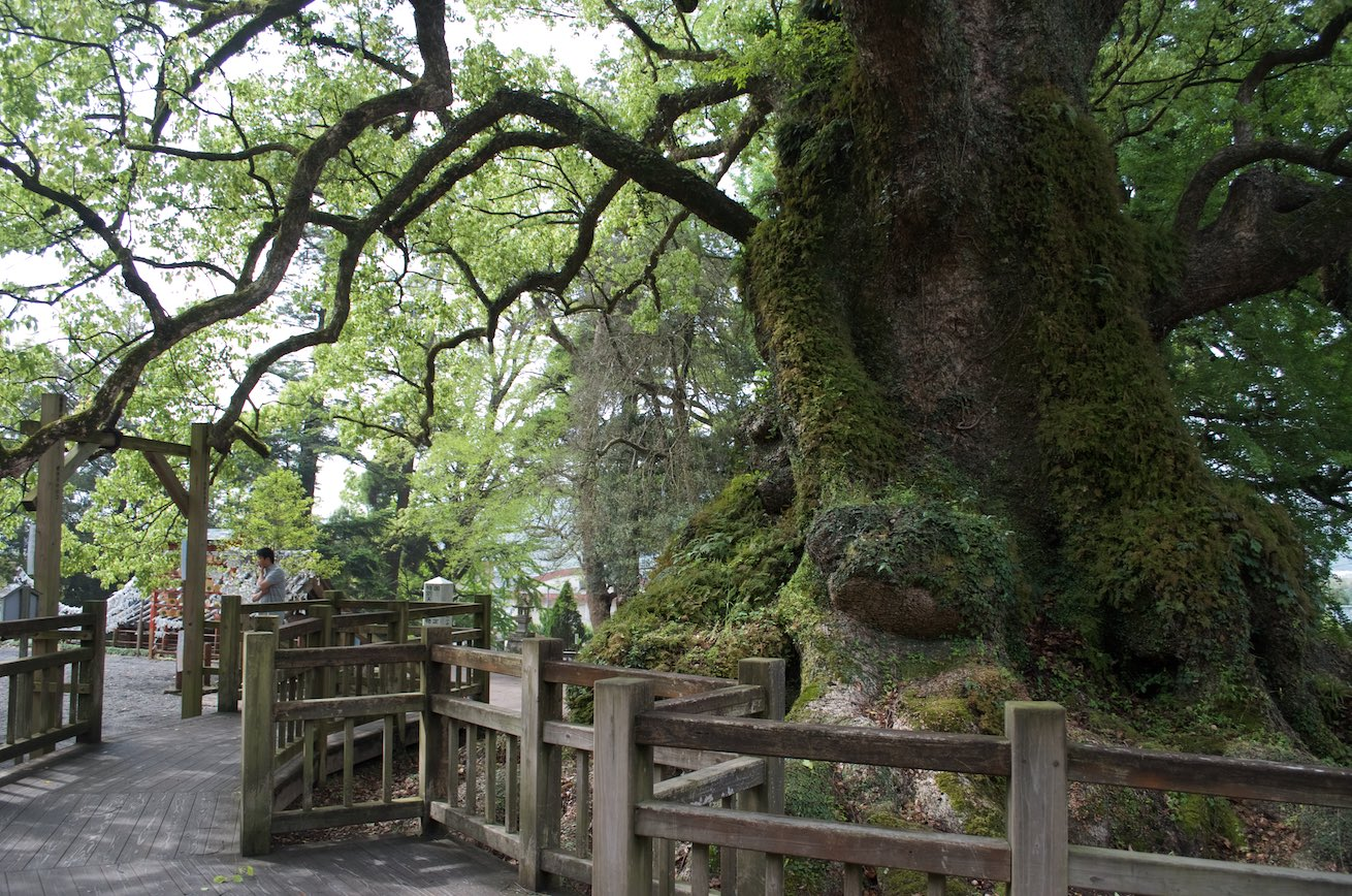 Kamouhachiman Shrine - Largest Camphor Tree in Japan