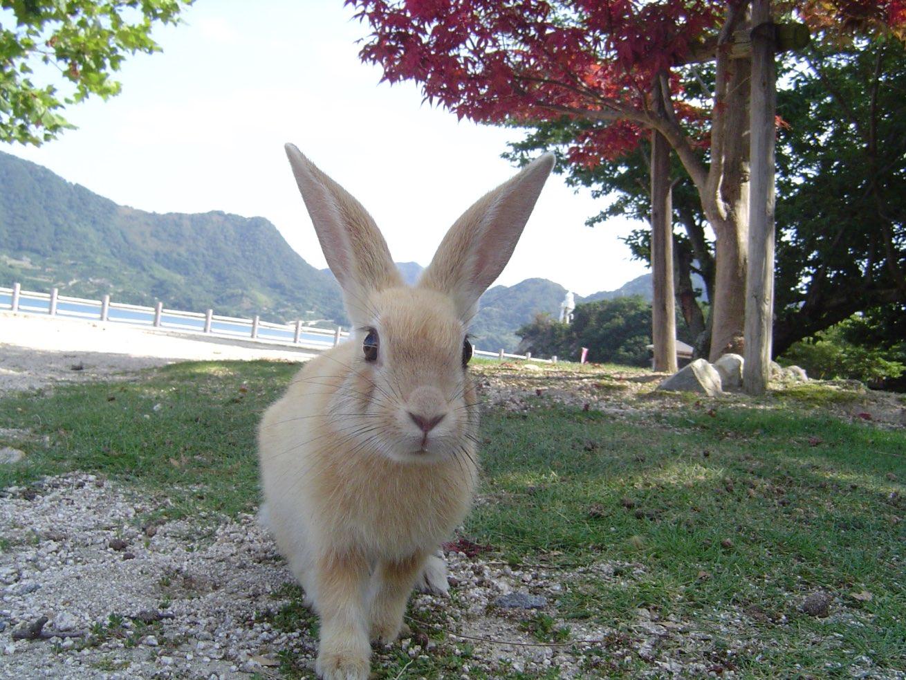 Okunoshima Island Bunny